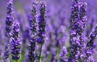Kwiaciarnia W Lawendowym Ogrodzie Zabrze