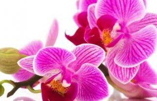 Kwiaciarnia Orchidea Sierpc