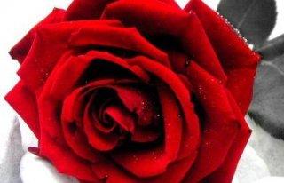 """Galeria """"Rose"""" Kwiaciarnia Konin"""