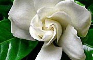 Kwiaciarnia Gardenia Rybnik