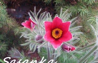 Kwiaciarnia Sasanka Stalowa Wola