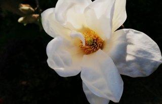 Kwiaciarnia Magnolia Ostrów Wielkopolski